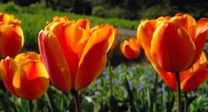 Geel-rode tulpen Stock Foto's