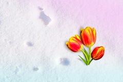 Geel-rode Tulpenbloem die die op de sneeuw liggen, door de zon, de winterachtergrond wordt verlicht Royalty-vrije Stock Foto