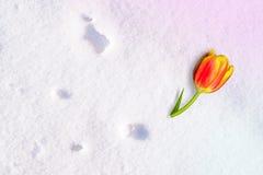 Geel-rode Tulpenbloem die die op de sneeuw liggen, door de zon, de winterachtergrond wordt verlicht Stock Foto's
