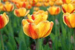Geel-rode tulpenbloemen. Stock Foto