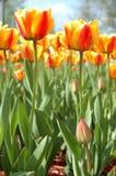 Geel-rode tulpenbloemen. Royalty-vrije Stock Afbeeldingen