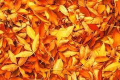 Geel, Rood en Oranje Autumn Leaves Background De kleurrijke Herfst royalty-vrije stock afbeelding
