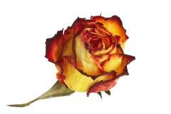 Geel-rood nam bloemblaadjes - gelb-rote Rosenbl ? ER Stock Foto