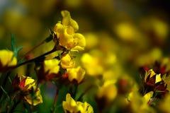 Geel Ross Alpine Aven Wildflower Flower Stock Afbeeldingen