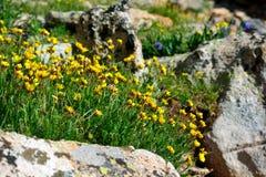 Geel Ross Alpine Aven Wildflower Flower met Rotsen Royalty-vrije Stock Foto's