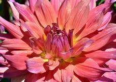 Geel-roze dahlia Royalty-vrije Stock Foto