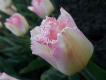 Geel-roze tulp stock afbeelding