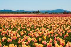 Geel-roze tulpen op het gebied Stock Foto