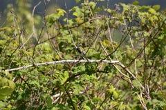Geel-Rumped grasmus neerstrijkt op de tak stock foto