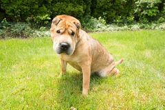 Geel Shar Pei Dog in Gras Royalty-vrije Stock Foto's