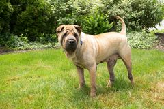 Geel Shar Pei Dog in Gras Royalty-vrije Stock Fotografie