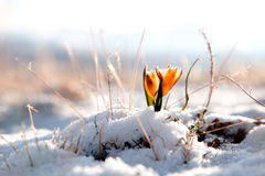 Geel sneeuwklokje in hoge bergvallei Royalty-vrije Stock Afbeeldingen