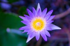 Geel stuifmeel in purpere of violette lotusbloem Stock Fotografie