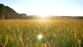Geel tarwegebied in dag in de zomer, aardconcept stock video