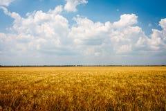Geel tarwegebied met blauwe hemel Stock Foto