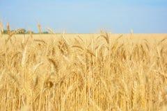 Geel tarwegebied, oogst van korrelgewassen Rijpe tarweoren van Stock Foto's