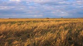 Geel tarwegebied Oren die in de wind op de achtergrond van onweerswolken slingeren stock footage
