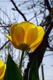 Geel tulpenclose-up tegen de hemel en de bomen Stock Foto