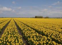 Geel tulpengebied Stock Foto's