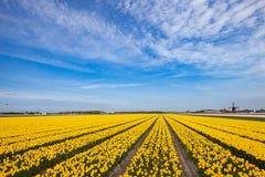 Geel tulpengebied met oude windmolen op de horizon Stock Afbeelding
