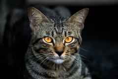 Geel van een kat terwijl het zien van het slachtoffer, Kat in de donkere nacht Royalty-vrije Stock Foto