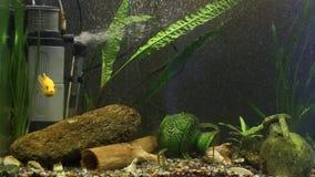 Geel van Malawi van aquariumvissen pseudotrophy gestreepte cichlid stock video