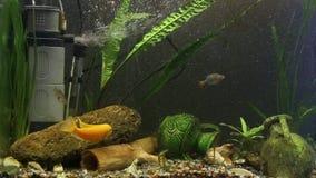 Geel van Malawi van aquariumvissen pseudotrophy gestreepte cichlid stock videobeelden