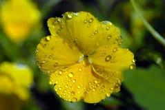 Geel viooltje met dalingen Royalty-vrije Stock Foto's