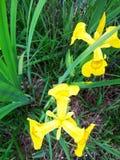 Geel waterlily Royalty-vrije Stock Afbeeldingen