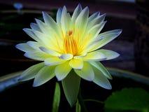 Geel waterlily Royalty-vrije Stock Afbeelding