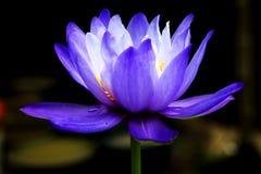 Geel waterlily Stock Foto's