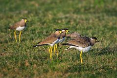 Geel-Wattled Kievit - Vanellus-malabaricus royalty-vrije stock foto