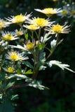 Geel-witte chrysanten Royalty-vrije Stock Foto's