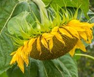 Geel Zonnebloemclose-up Suflowerbloesem, zijaanzicht stock fotografie