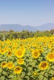Geel zonnebloemgebied Royalty-vrije Stock Afbeeldingen