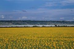 Geel zonnebloemgebied royalty-vrije stock fotografie