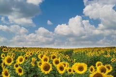 Geel zonnebloemgebied Stock Afbeeldingen