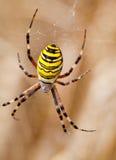 Geel-zwarte spin in haar spiderweb Royalty-vrije Stock Foto's