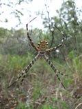 Geel-zwarte spin in zijn Web in Swasiland Stock Afbeeldingen