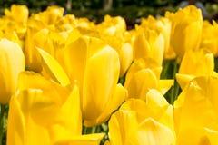 Geelachtig tulpengebied Stock Afbeeldingen