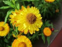 Geelachtige oranje bloem Stock Foto