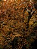 Geelachtige sinaasappel Royalty-vrije Stock Foto's