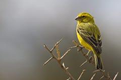 Geelbuiksijs, canário amarelo, flaviventris do Serinus fotos de stock