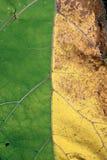 Geelgroen blad als natuurlijke abstracte achtergrond, die vergadering van de zomer en de herfst symboliseren Stock Afbeeldingen