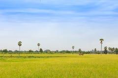 Geelgroen padieveld Textuur van het kweken van rijst, bloemenbackgro stock fotografie