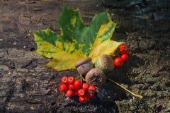Geelgroene blad en lijsterbessenbessen op de schors van de oude boom Stock Afbeelding
