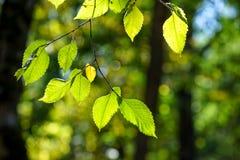 Geelgroene bladeren op dunne takken op vage natuurlijke achtergrond Stock Afbeelding