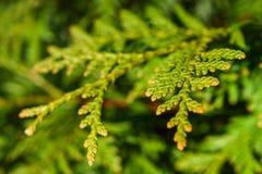Geelgroene bladeren van arborvitae, achtergrond, selectieve nadruk Royalty-vrije Stock Afbeelding