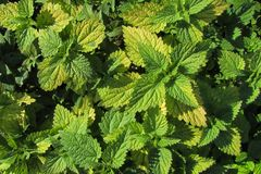 Geelgroene bladeren van netel Hoogste mening stock afbeeldingen