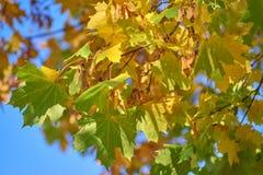 Geelgroene esdoornbladeren tegen het blauw van de zonnige hemel, close-up stock fotografie